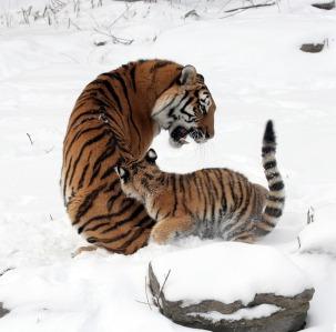 tigers-585984_640